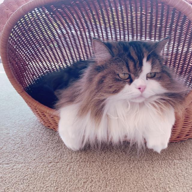 猫カフェモカ原宿店の猫