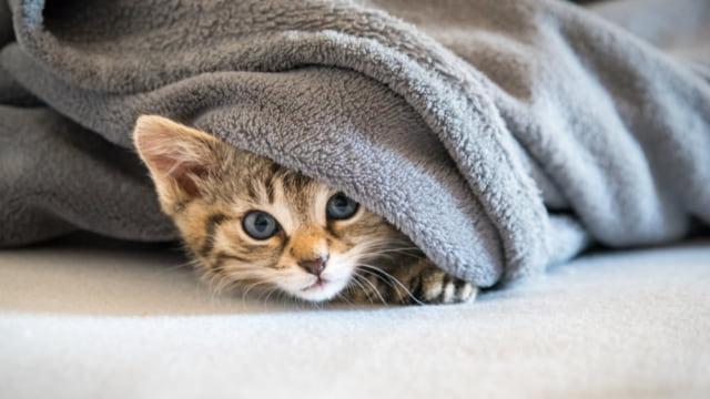 猫とブランケットで遊ぶ