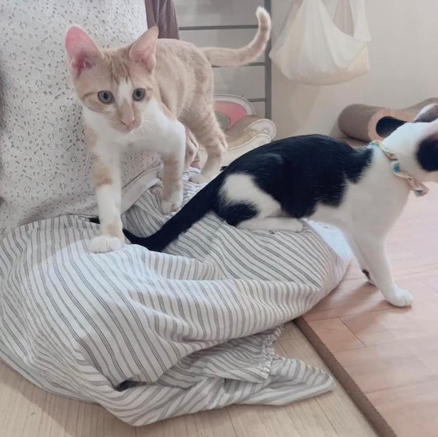 里親募集型猫カフェえこねこの猫