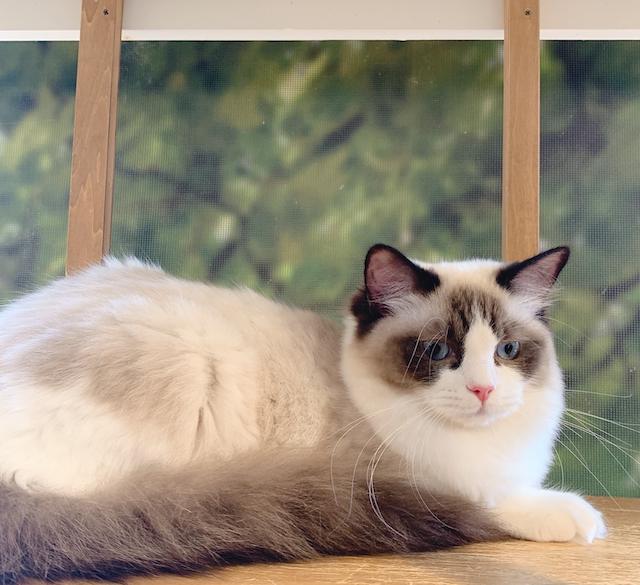 たまねこ多摩センターの猫